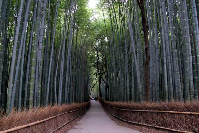 嵯峨野の竹林1