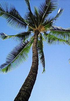 椰子の木 1