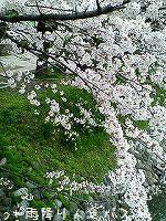 お花見 縦 2