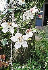 実家の梅の花