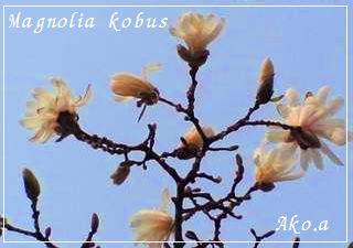 20060406 辛夷の花