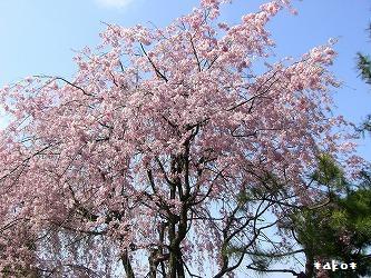 20070423枝垂れ桜
