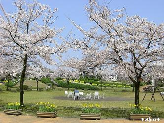 20070423桜公園と鯛ちゃん