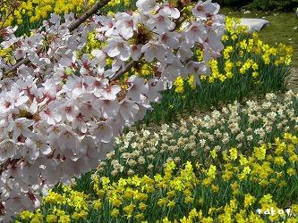 20070423桜と水仙