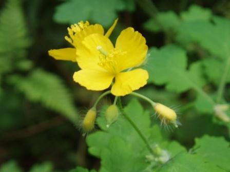 クサノオウの花:ツボミが毛だらけ
