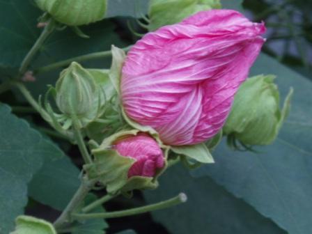 ご近所の芙蓉のツボミ。開きかけってスキ