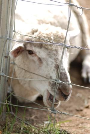 羊・その① (白あずき)