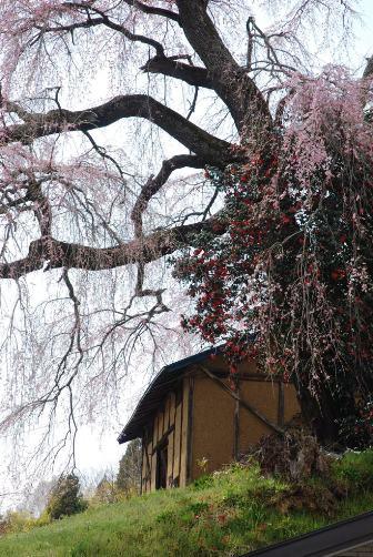 命名:お弁当桜