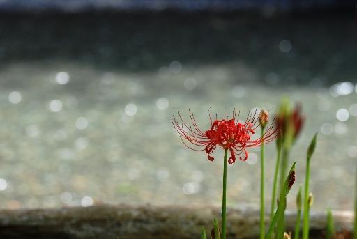 高麗川沿いに咲く彼岸花