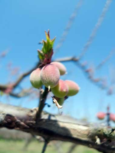 フルーツパークの梅の実