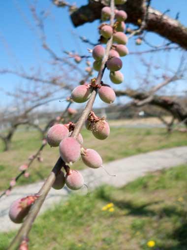フルーツパークの梅
