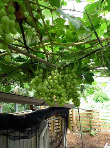 しあわせ野菜畑 葡萄