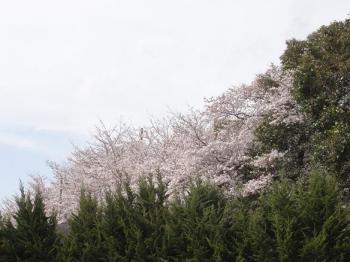 一体どこだ?というほど遠くにある桜。