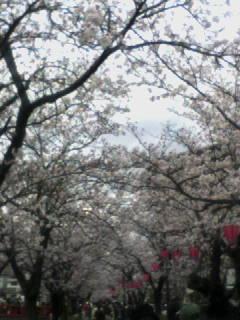 お堀端通り桜