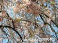 枝垂れ桜200904