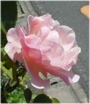 バラ・イモータルDSC04653