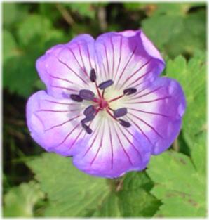 Geranium wallichianum boxton's blue
