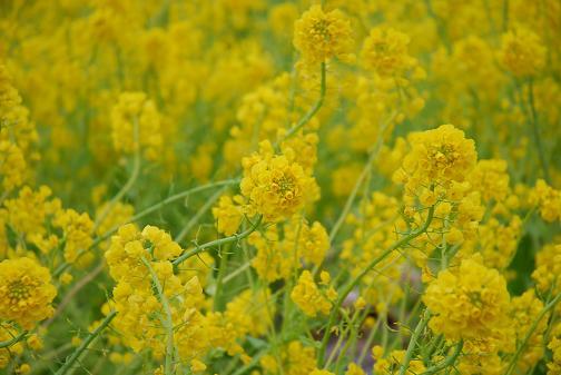 菜の花090324 006