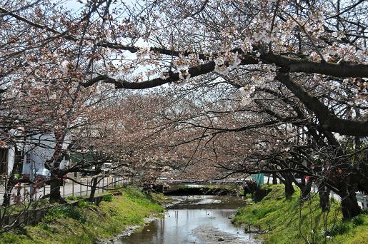 並木090329 018 桜