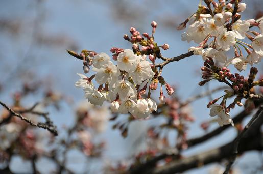 桜090329 014