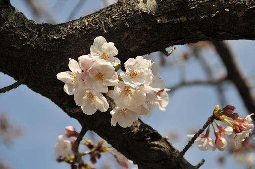 桜090329 043