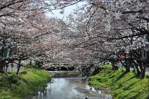 桜090403 051
