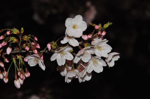 桜090403 102