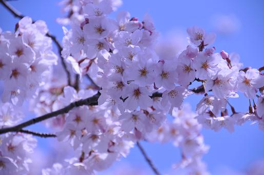 桜090407 004