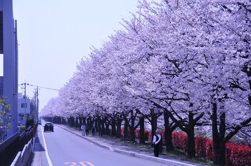 桜090407 033