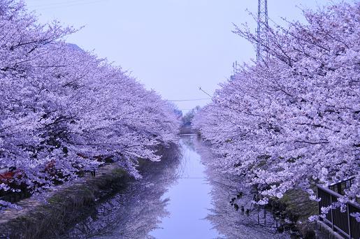 桜090407 022