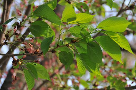 葉桜090417 050