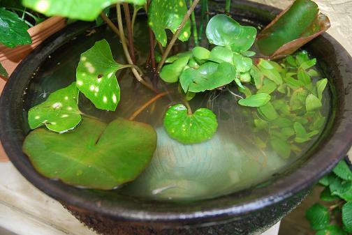 090511 025 水生植物