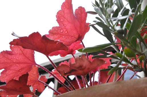 090528 029 雨に濡れる葉