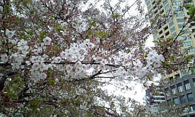 目黒川の桜v