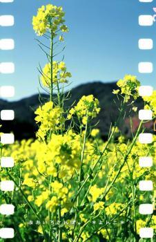 Lubitel 166+ 菜の花
