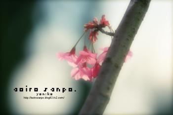 アタミザクラ