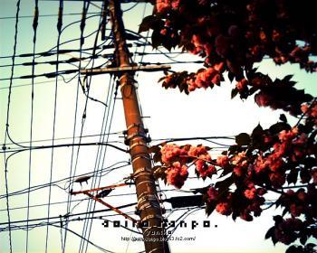 電柱と八重桜 VQ1015 Classic