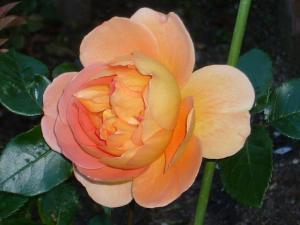 薔薇5月 010