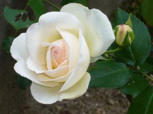 薔薇5月 013