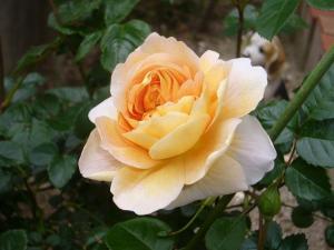 薔薇5月 014