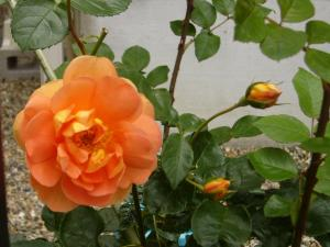 薔薇5月 019