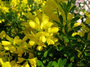 黄色い花-1s