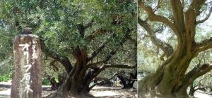 olivegenboku.jpg
