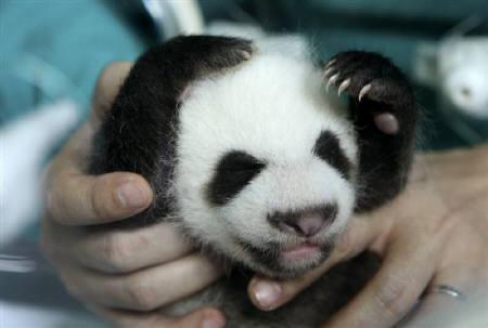 チェンマイ動物園で誕生したパンダの赤ちゃん