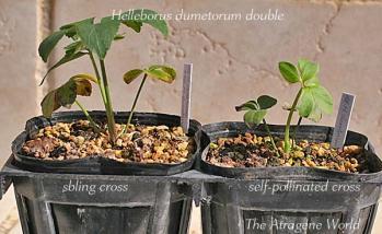 dumetorumdouble2610201101.jpg