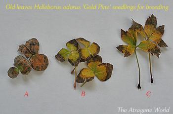 odorusgoldpineseedlings1001201201a.jpg