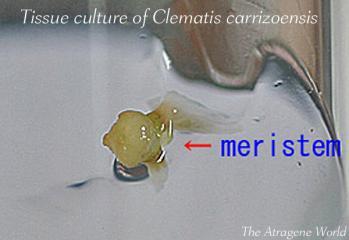 tissuecultureofcarrizoensis2510201101m-1c.jpg