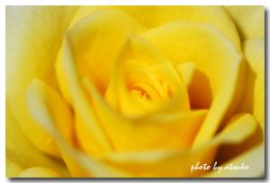 DSC_2608黄色バラ2