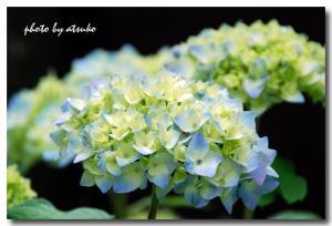 DSC_3379紫陽花30