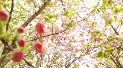 梅宮神社の桜